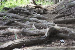 根が剥き出しになっている。...