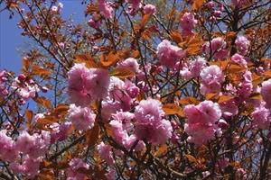まだ、八重桜が咲いていた。。。...