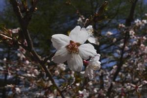 富士桜が咲いていた。...