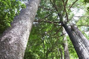 二本の大木の間を通る。...