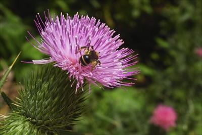 アザミとハチ。...
