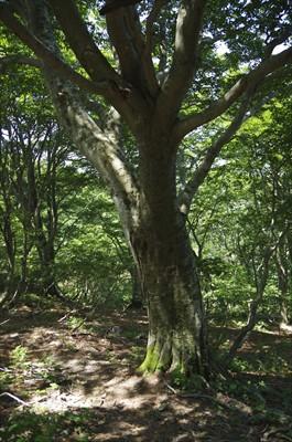 ブナの大木。まだ、樹を見る余裕...
