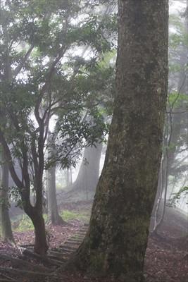この辺りは巨大なモミの木が林立...
