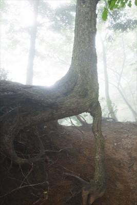 直角の木・・・たくましい・・・...