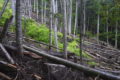 倒木地帯。...