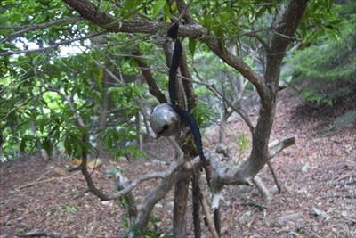 中央にあるアセビの木にぶら下げ...