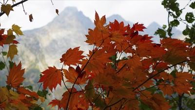 ハウチワカエデの紅葉。ちょっと...