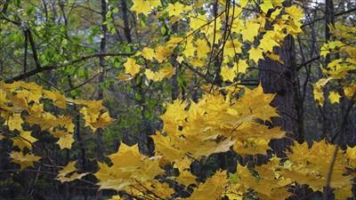 イタヤカエデの黄葉。...
