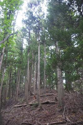 この辺りは杉の植林地ですね。...