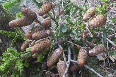 モミの木の松ぼっくりがいっぱい...