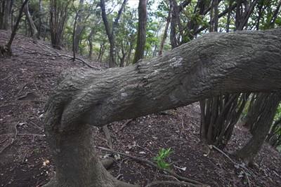 また、ネジネジの木。...