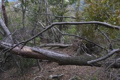 やたら、倒木があります。...