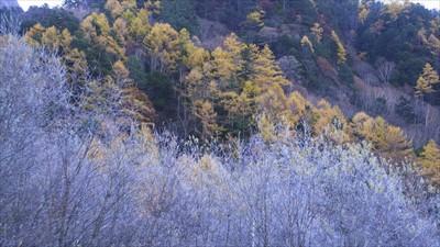 霧氷と落葉松(カラマツ)。...