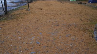 落葉松の落ち葉がいっぱい・・・...