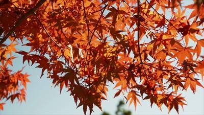 山頂の紅葉3。...