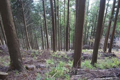 急な斜面の植林地帯も道(林業用...