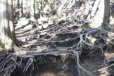 それにしてもこの辺りは木の根の...