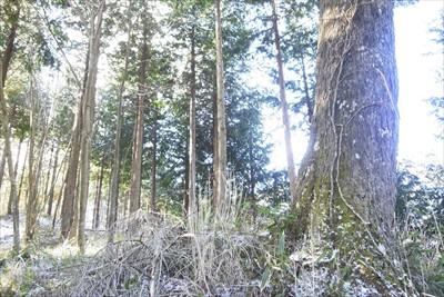 尾根の上に出た。右側の太い木が...