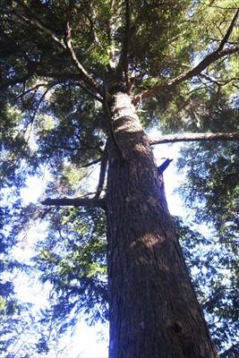 ところで、この木・・・モミなの...