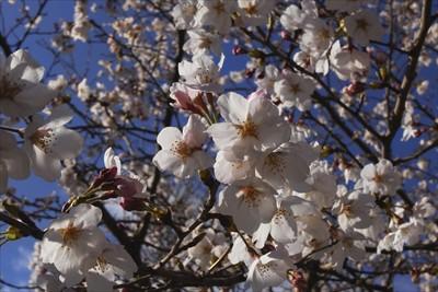 桜がきれい・・・。もう、すっか...