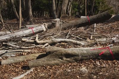 なにやら大きな木が伐採されてい...