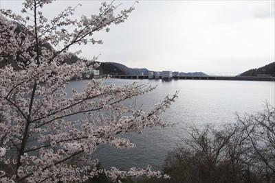 桜越しの宮ヶ瀬ダム。...
