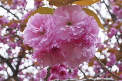 八重桜が満開。...