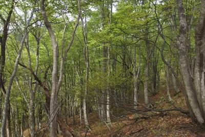 ブナの林が気持ちいいです。...