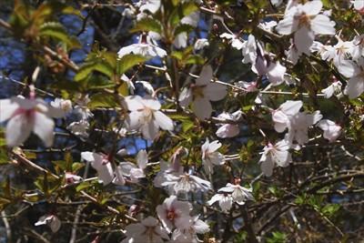フジザクラがちょうど咲いていま...