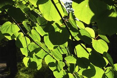 カツラの葉っぱの緑がキレイ・・...