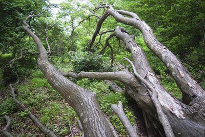 大きな倒木(モミジ)がりありま...