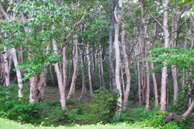 ほぼダケカンバの純林。自然なの...