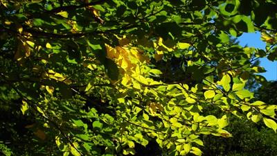 チョットだけ黄葉が始まっていま...
