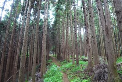 杉の植林地。...