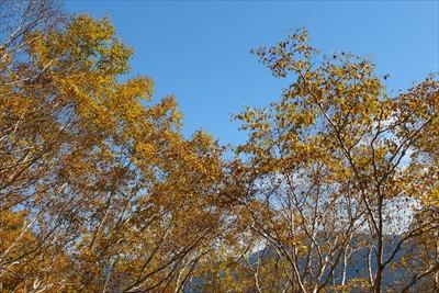 ダケカンバの黄色と空の青さのコ...