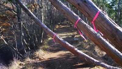 この3本の木はいずれ登山道に倒...