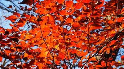 この尾根はまだ色づいている木々...