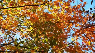 この木の紅葉はまだ始まったばか...