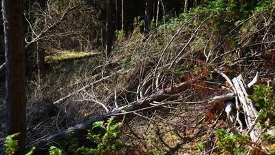 倒木と枝打ちされた木が散乱して...