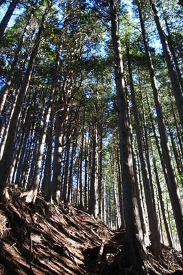 ヒノキの植林地。...