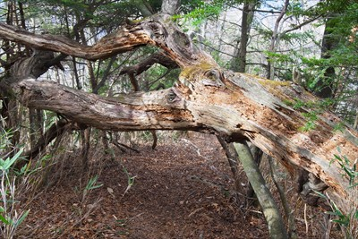 倒れそうで、倒れきっていない木...