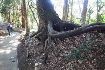 ん? 蛸杉のように根が道を避け...