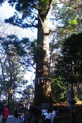 蛸杉。...