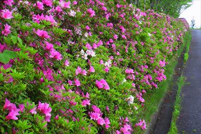 道の左側にツツジが咲いている。...