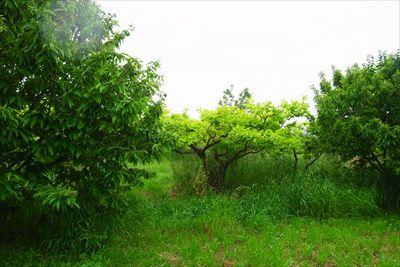 濃い緑の葉の木は栗の木だと思う...