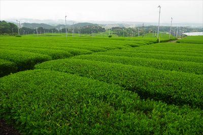 見渡すかぎりのお茶畑。...