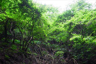 沢の左側(左岸)はほぼ自然林で...