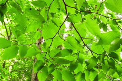 新緑のブナの葉っぱがキレイ。...
