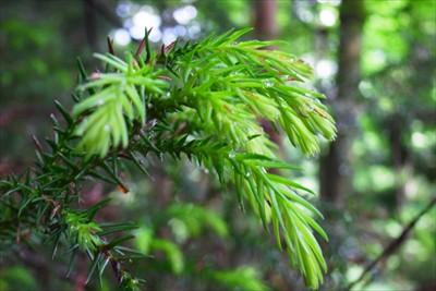 杉の葉っぱの新芽は淡い緑をして...