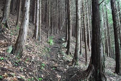 ここからは植林地の斜面をジグザ...